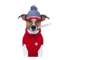 psí chřipka