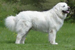 Podhalaňský ovčák - plemena psů