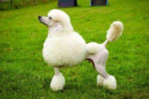 PUDL - plemena psů