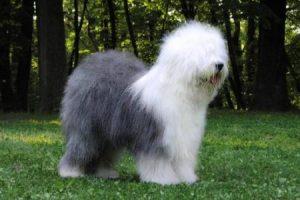 Staroanglický ovčák - Bobtail - plemena psů