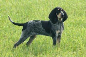 Velký modrý gaskoňský honič - plemena psů
