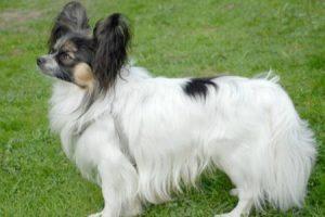 Malý kontinentální španěl - plemena psů