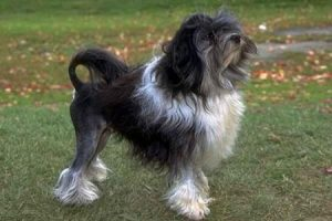 LVÍČEK - plemena psů
