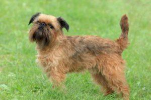 Bruselský grifonek - plemena psů