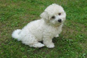 Boloňský psík - PLEMENA PSŮ
