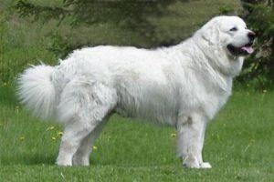 Maremmansko-Abruzský ovčák - PLEMENA PSŮ