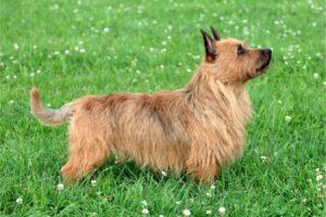 Australský teriér - plemena psů