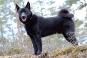 Norský losí pes černý - PLEMENA PSŮ