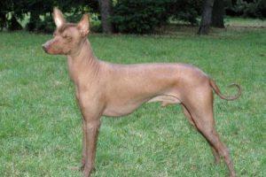 Mexický naháč - plemena psů
