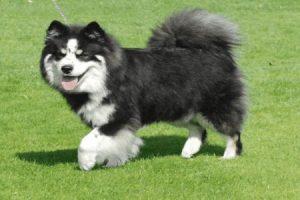 Finský laponský pes (Lapinkoira) - PLEMENA PSŮ