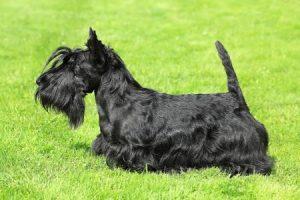 Skotský teriér - plemena psů