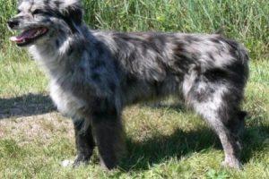 Pyrenejský ovčák dlouhosrstý - PLEMENA PSŮ