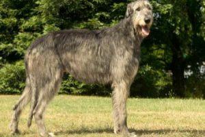 irský vlkodav - plemena psů