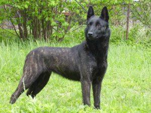 Holandský ovčák - plemena psů
