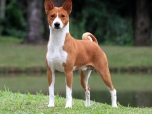 Basenji - plemena psů