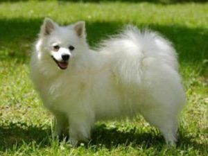 Italský Volpino - plemena psů