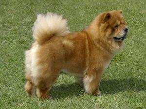 Čau-Čau - plemena psů