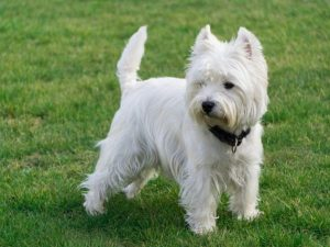 West Highland White teriér - plemena psů