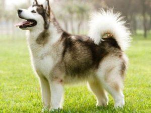 Aljašský malamut - plemena psů