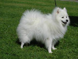 Japonský špic - plemena psů
