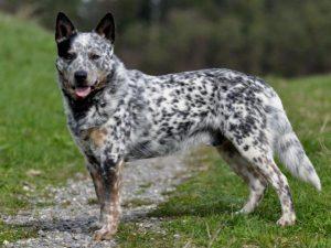 Australský honácký pes - psí plemena