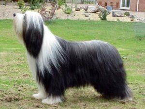 Bearded kolie - plemena psů