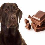 pes a čokoláda