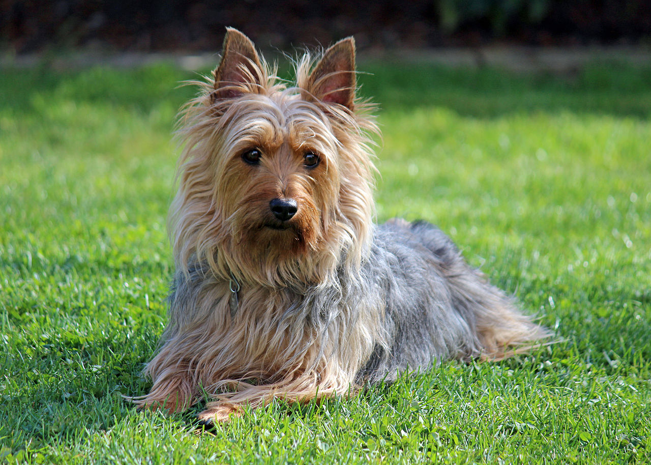 plemena psů - Australský Silky teriér