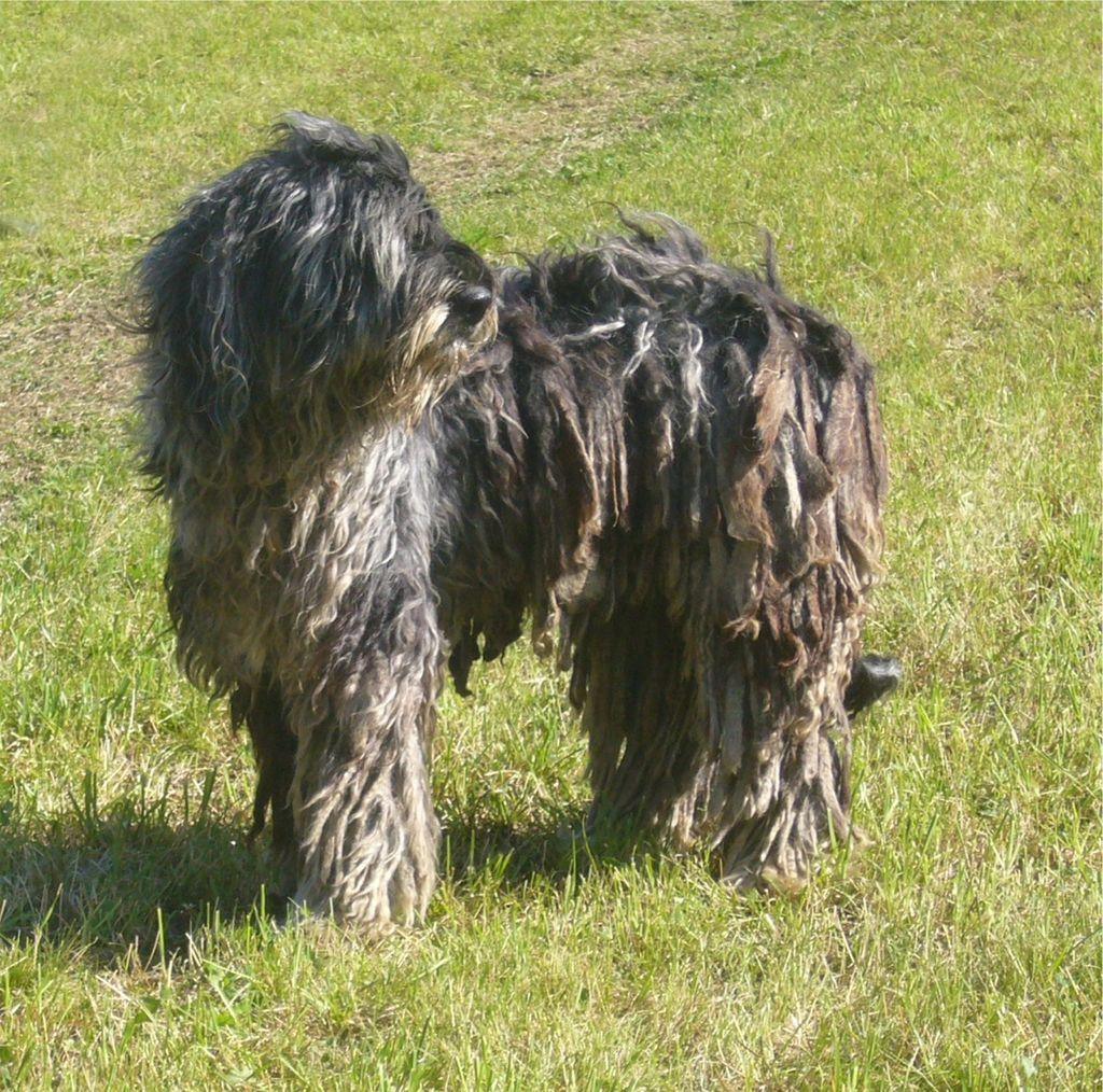 plemena psů - Bergamský ovčák