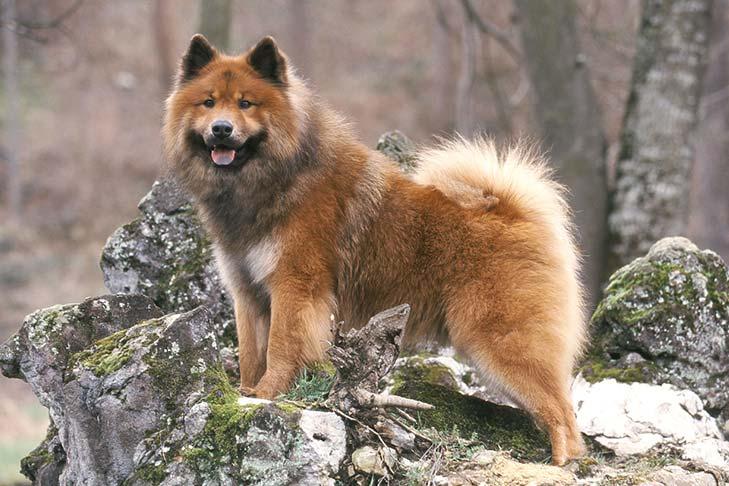 plemena psů - Eurasier