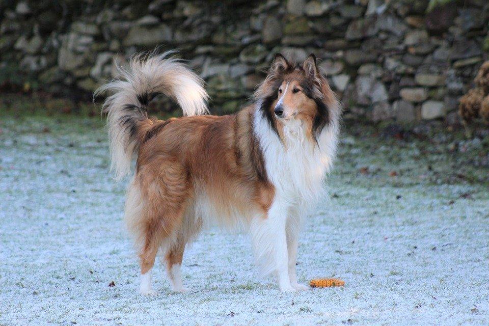 plemena psů - Kolie dlouhosrstá