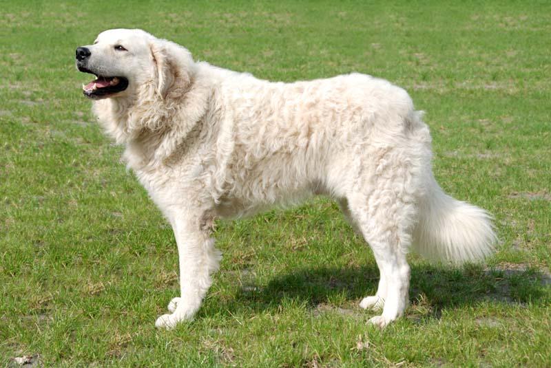 plemena psů - Kuvasz