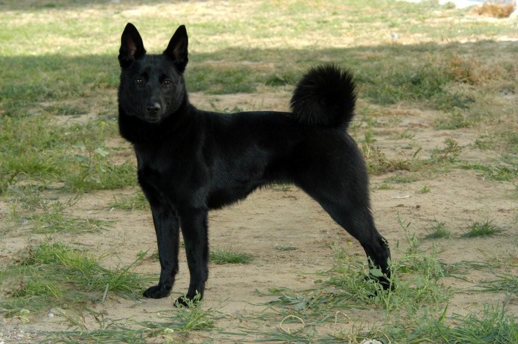 plemena psů - Norský losí pes černý