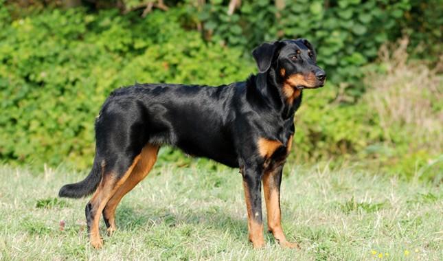 plemena psů - Beauceron