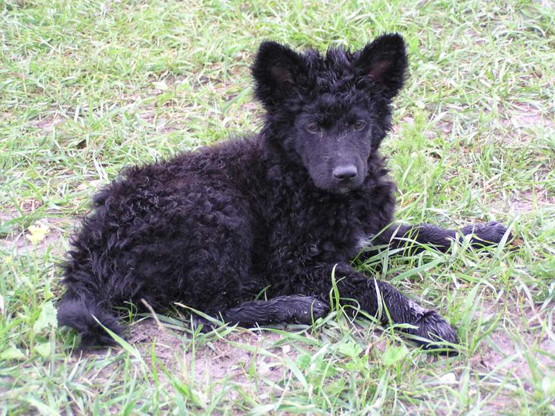 plemena psů - chorvatský ovčák