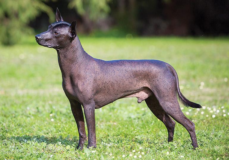 plemena psů - mexický naháč
