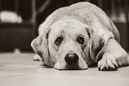 Smutné psí oči značí nemoc