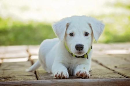 Průkaz původu psa