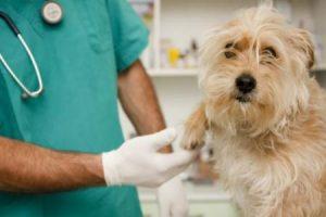Spinocelulární karcinom u psů
