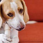 psí chrup a zpach