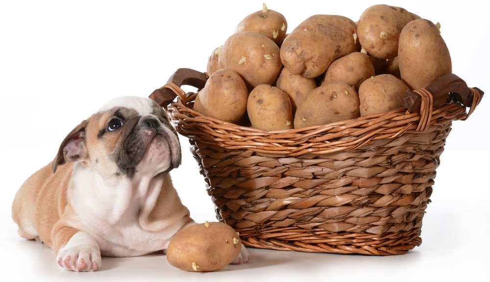 může jíst pes brambory