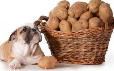 Může pes brambory?