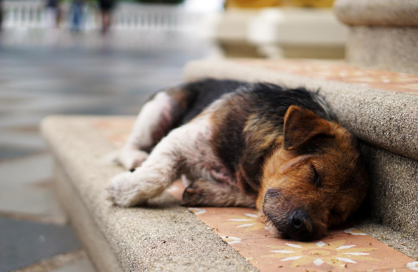 onemocnění psa leptospirózou