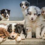 dospívání psů