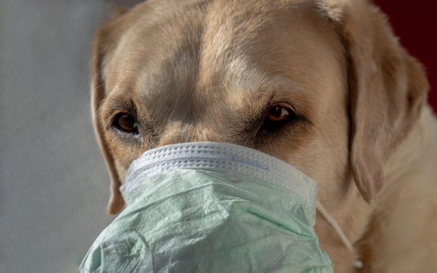 koronavir u psa