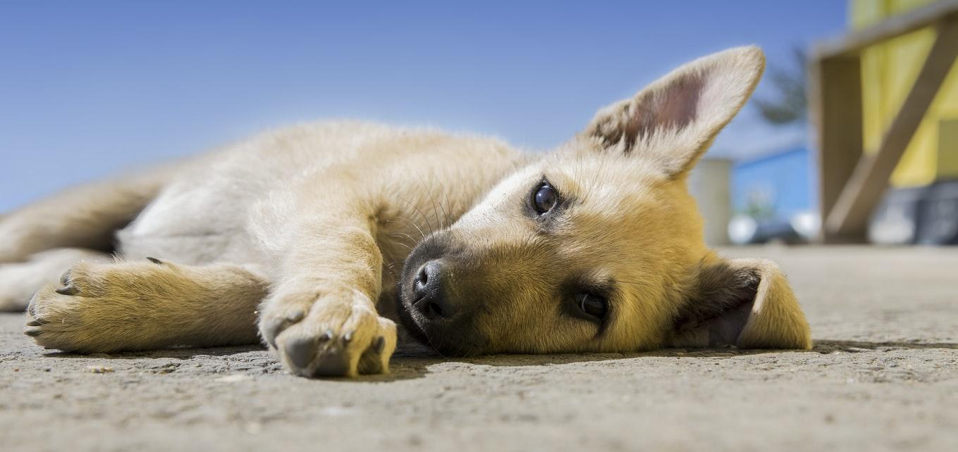 otrávené návnady pro psy